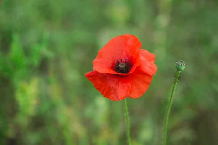 November, Remembrance, and Poppies